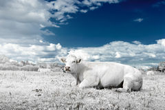 Landscape with cow in white and blue tone Stock Images
