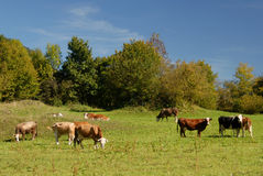Landscape with cows Stock Photo