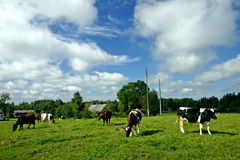 Landscape with cows. Summer landscape with cows royalty free stock image