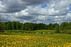 Landscape with cows. And dandelions royalty free stock images
