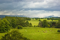 Scottish landscape with cows on meadow stock images
