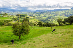Landscape and Cows Stock Photo