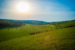 Landscape with cows in the distance. Cows in the distance graze on a green pasture. A bright sun and clean sky Stock Photo