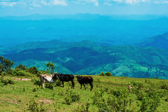 Landscape Cows Farm mountain Royalty Free Stock Photography