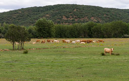 Landscape with Cows Royalty Free Stock Images
