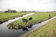 Landscape with cows in holland Royalty Free Stock Photos