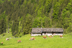Landscape with cows Stock Photography