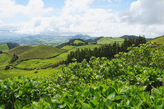 Landscape with cows, Sao Miguel, The Azores Islands, Portugal Royalty Free Stock Photo