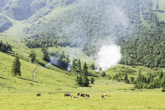 Landscape with cows and wild fire Royalty Free Stock Image