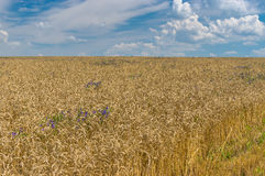 Landscape with crops field at harvesting time Royalty Free Stock Photo