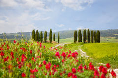 Landscape with cypresses and bright red flowers Stock Image