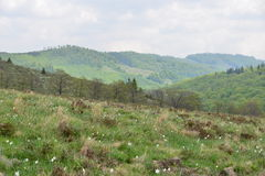 Landscape with the Daffodils Glade (in Romanian: Poiana Narciselor) and mountains. Royalty Free Stock Photo