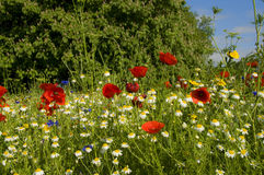 Landscape with daisies and poppies. Close side view of wildflower meadow landscape dominated by daisies and red poppies, Richmond, London Stock Photos