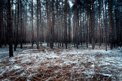 Landscape of dark forest covered by snow Royalty Free Stock Photo