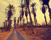 Landscape with date palm trees Stock Photos