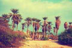 Landscape with date palm trees Stock Photo
