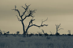 Landscape with dead tree in Kruger National Park artistic conver Royalty Free Stock Photography