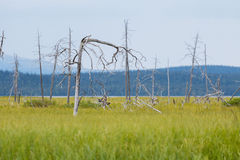Landscape with dead trees in swamp area Royalty Free Stock Photos