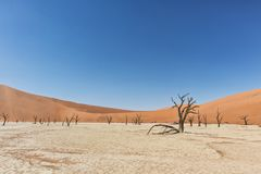 Landscape of death vlei, dead and dry trees with red dunes in Sossusvlei. Namibia. Africa stock image