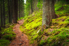 Landscape dense mountain forest. Landscape dense mountain forest and stone path between the roots of trees Stock Images