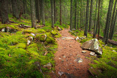 Landscape dense mountain forest. Landscape dense mountain forest and stone path between the roots of trees Royalty Free Stock Image