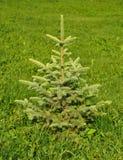 Landscape Design. Blue spruce, green spruce, white spruce, Colorado spruce or Colorado blue spruce. Stock Photography