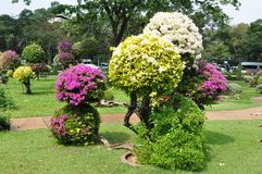 Landscape design. Bougainvillea. Royalty Free Stock Image