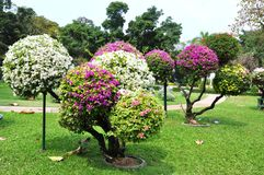 Landscape design. Bougainvillea. Royalty Free Stock Images