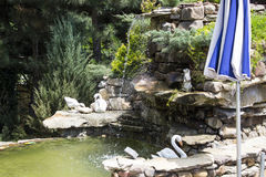 Landscape design. Decorative stone waterfall pond near swimming pool in the park zone. landscape design. close up.decorative swans and green shrubs royalty free stock images