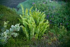 Landscape design from different plant and flower in the city. A beutiful combinatio of Hart`s-tongue fern Asplenium scolopendrium and Parennials shrub royalty free stock photography