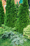 Landscape design, evergreen trees and shrubs in sunlight. Royalty Free Stock Photo