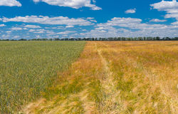 Landscape with different sort of wheat fields next to each other, central Ukraine Royalty Free Stock Photo