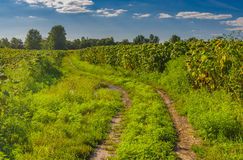 Landscape with dirty road between sunflowers fields in central Ukraine Royalty Free Stock Image