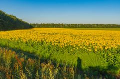 Landscape with dirty road between sunflowers fields in central Ukraine Royalty Free Stock Images