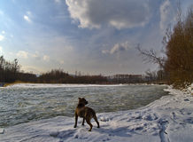 Landscape with a dog on the bank of winter river Stock Images