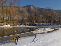 Landscape with a dog on the bank of winter river Stock Image