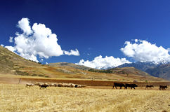 Landscape, drove, Sacred Valley, Peru. Flock of sheep and cattle, Sacred Valley, Peru royalty free stock photos