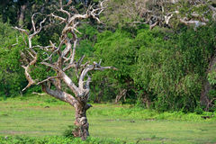 Landscape with dry dead tree in Yala National Park Stock Photo