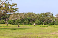 Landscape with dry dead tree in Yala National Park Royalty Free Stock Photo