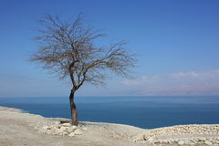 Dead tree at the Dead sea Royalty Free Stock Image