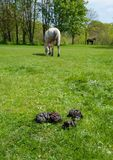 Landscape with dung, grass and horses Royalty Free Stock Photo