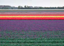 Landscape of dutch tulip fields Royalty Free Stock Photography