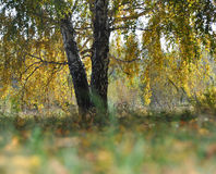Landscape early autumn. Large sprawling birch with yellow and green foliage on a background autumn forest. Ahead of grass and leav stock photos