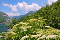 Landscape with elder flower Royalty Free Stock Photos