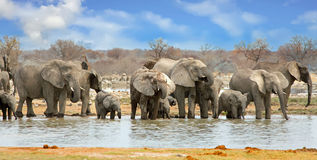 Landscape of elephants drinking at a waterhole in Etosha with nice blue cloudy sky. Elephant panorama at a a waterhole in Etosha National Park, Namibia Royalty Free Stock Images