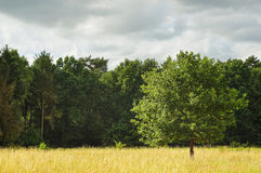 Landscape with enlightened tree in summer sun after a storm. A picture of a young oak tree in the middle of a golden grass field, enlightened by a soft afternoon Royalty Free Stock Photography