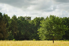 Landscape with enlightened tree in summer sun after a storm. A picture of a young oak tree in the middle of a golden grass field, enlightened by a soft afternoon Royalty Free Stock Image
