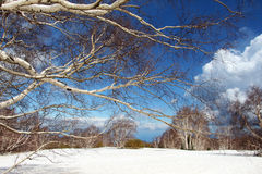 Landscape from etna volcano, the birch forest Royalty Free Stock Images