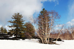 Landscape from etna volcano, with the woods. A detail of some woods from the etna volcano, with larches and birches, near catania, in sicily, with the snow and stock photography
