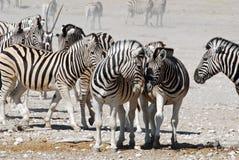 Landscape Etosha National Park with zebra. Dusty landscape with zebras - Equus burchelli, also known as the common zebra or Burchells zebra, Etosha National Park stock images